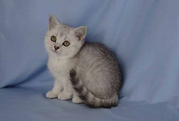 silver ticked tabby female