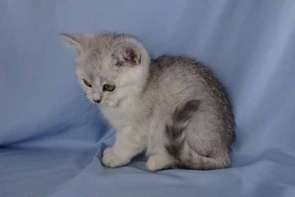 silver ticked tabby female3