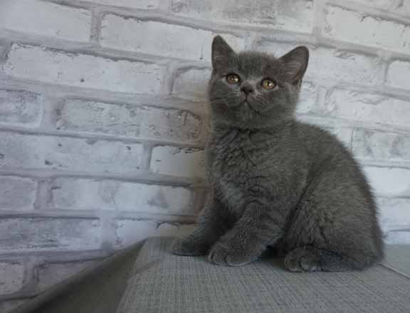 Blue male bsh no collar