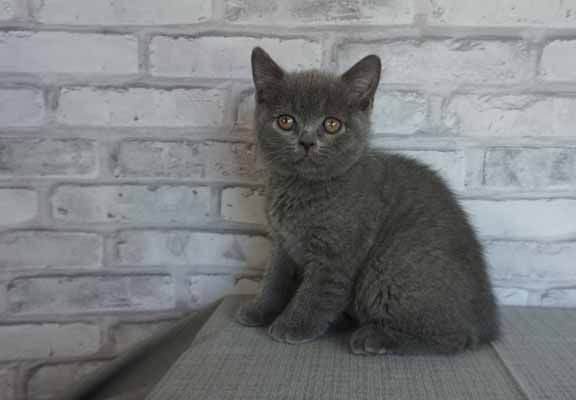 Blue male bsh no collar2