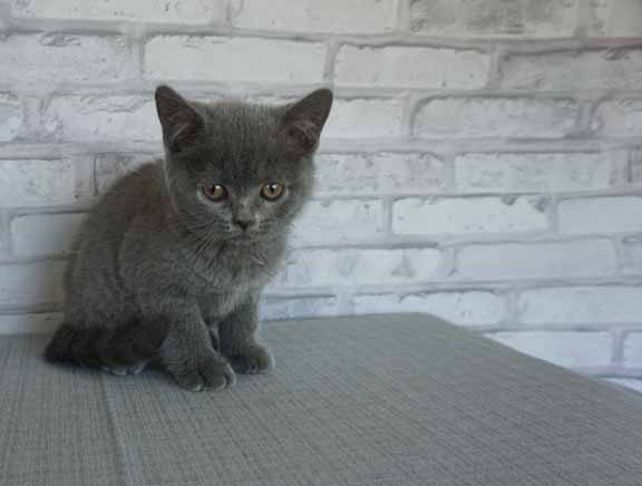 Blue male bsh no collar3