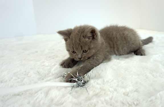 blue male british shorthair kitten