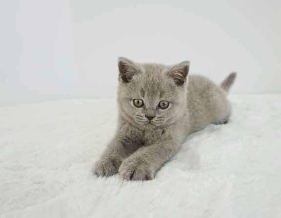 bsh lilac male kitten