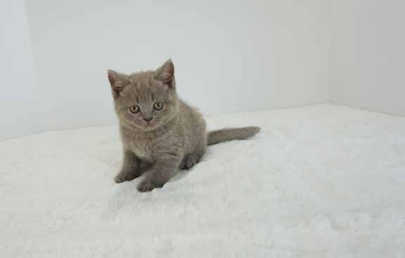 lilac male bsh