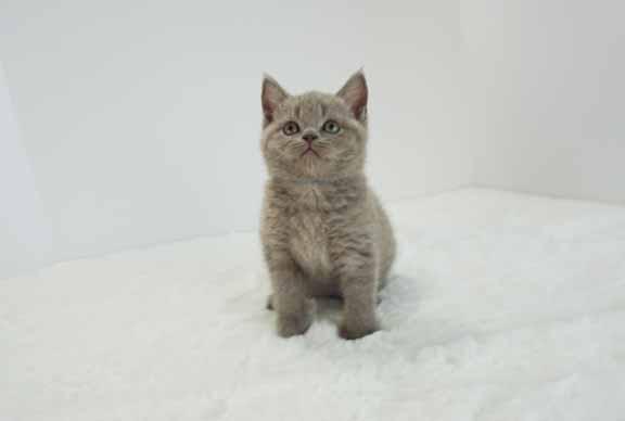 male british shorthair kitten